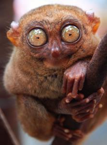 tarsier, primate