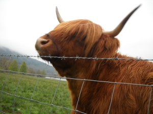 If Hercules went to Scotland, he'd face this Highland cow.