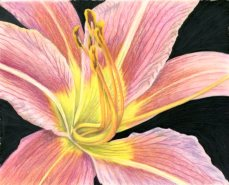 """""""Bright as Daylily"""" 8x10"""" Colored Pencil on DuraLar Film"""