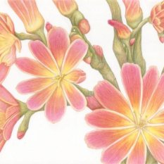 """Lewisia Burst"" Colored Pencil on Bristol 8x10"""