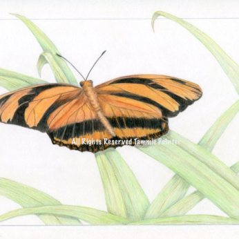 """Orange Butterfly"" 9 x12"" Colored pencil on Bristol"