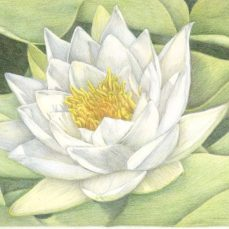 """Waterlily"" 8x10"" Colored Pencil on Bristol"