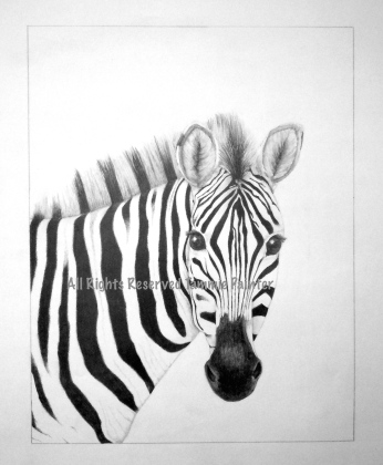 """SOLD """"Zebra"""" 12x18"""" Graphite on Drawing Paper"""