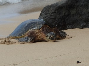 Kapalua Bay, Maui, Hawaii, green sea turtle