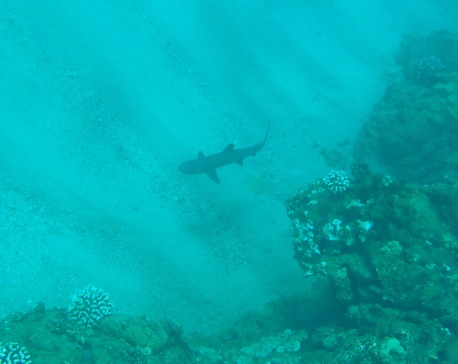 Kapalua Bay, Maui, Hawaii, reef shark