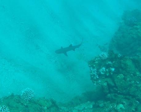 Kapalua Bay, Maui, Hawaii, reef shark