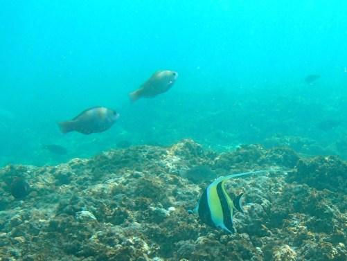 Kapalua Bay, Maui, Hawaii, moorish idol