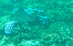 Kapalua Bay, Maui, Hawaii, spotted eagle ray