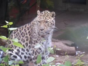 amur leopard, oregon zoo, borris