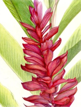 """""""Red Ginger"""" 8x10"""" Colored Pencil on Bristol"""