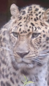 amur leopard, borris, oregon zoo
