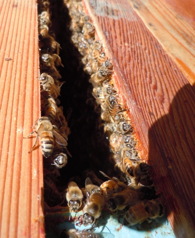 bees, beekeeping, top bar hive