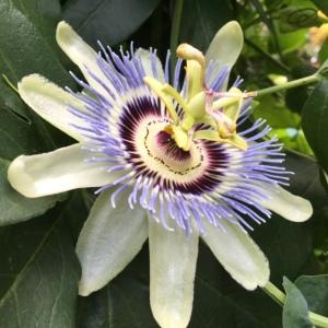 passionflower, passiflora