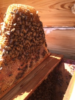 bees, honeycomb, top bar hive, beekeeping