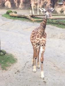oregon zoo, giraffe