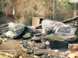 oregon zoo, porcupine