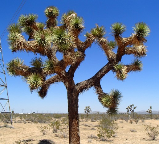 Joshua tree, yucca brevifolia, southern california, desert