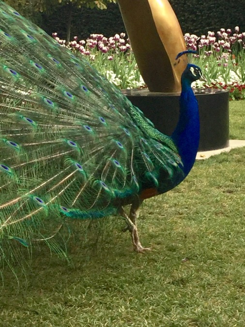 peacock, holland park