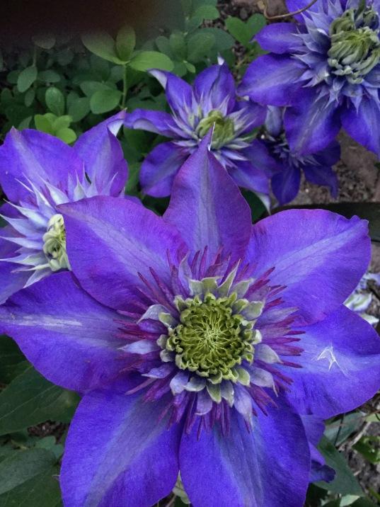 clematis, purple flower