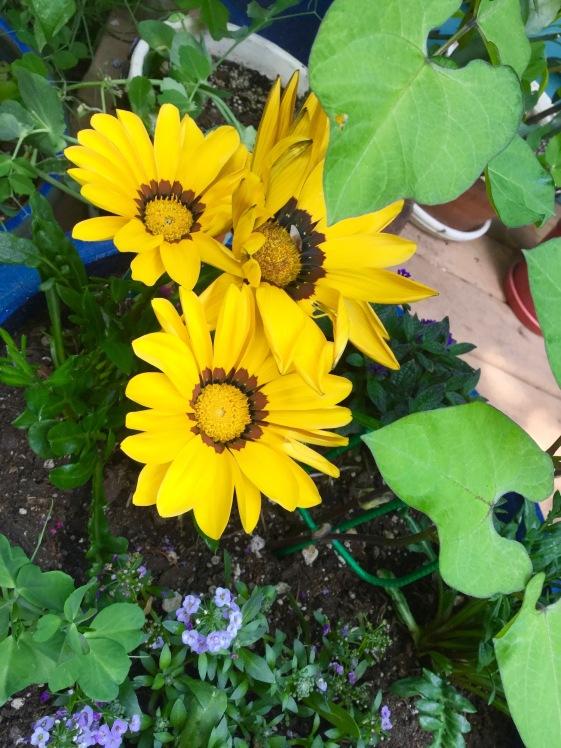 tanzania daisy, yellow flower