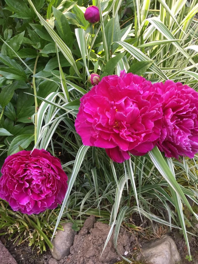 peony, pink flower