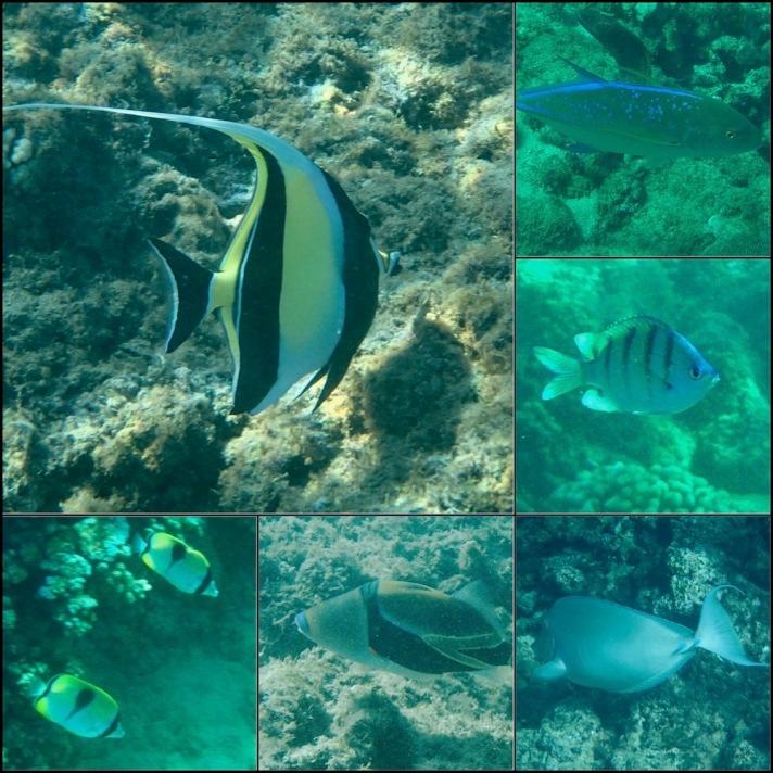 maui, kapalua bay, honu, convict tang, butterfly fish, moorish idol, hawaii, snorkel