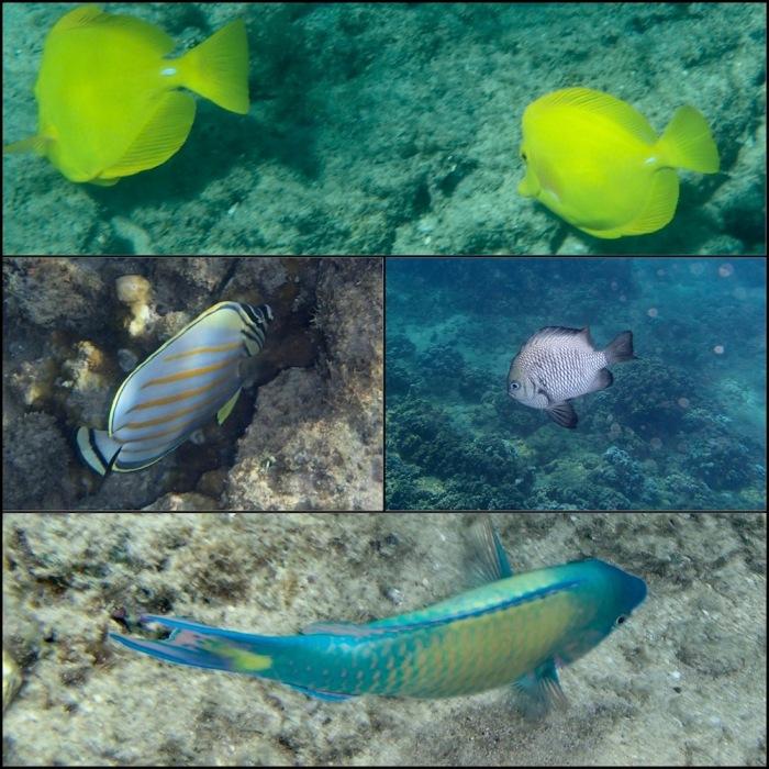 maui, kapalua bay, wrasse, tang, butterfly fish, hawaii, snorkel