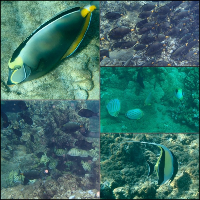 maui, kapalua bay, tropical fish, moorish idol, surgeon fish, hawaii, snorkel