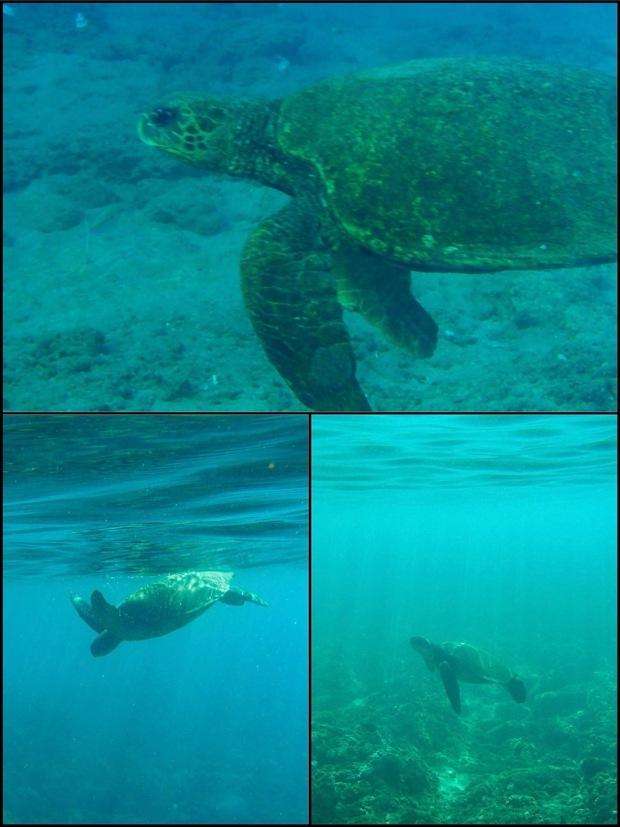 sea turtle, maui, kapalua bay, green sea turtle