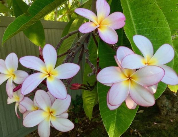 plumeria, tropical plant, maui, flower