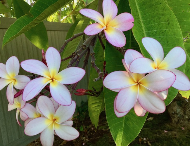 plumeria, tropical plant, maui, flower