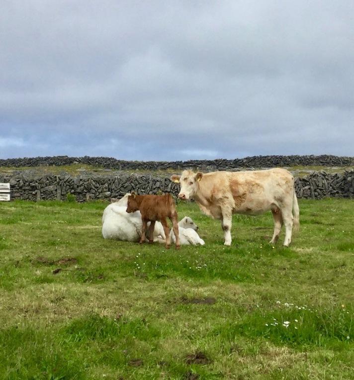 cow, ireland, aran islands, inishmore