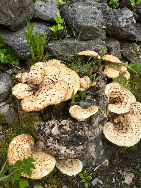inishmore, aran islands, fungus, mushroom